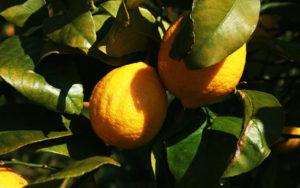 名産の瀬戸田レモンは本当に美味しい