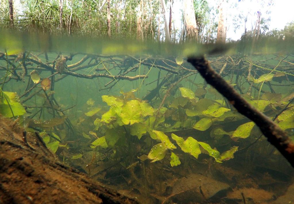 スイレンの類の美しい水中葉