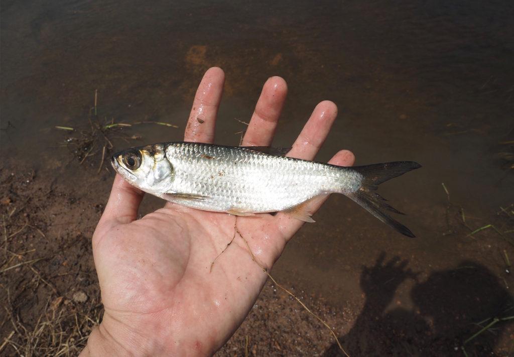 イセゴイの幼魚