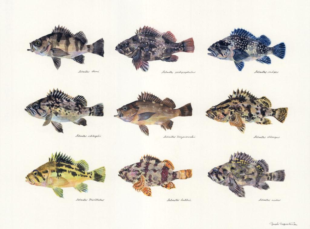メバル属の魚たち