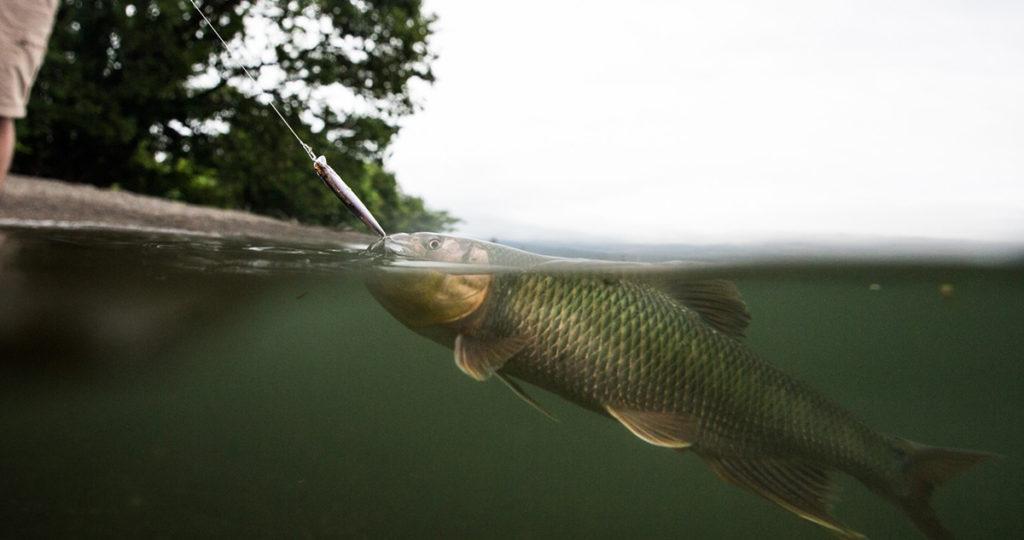 シンキングの小型ミノーにヒットした良型のハス。トゥイッチも有効ですが、ただ巻きでも十分に釣れます。